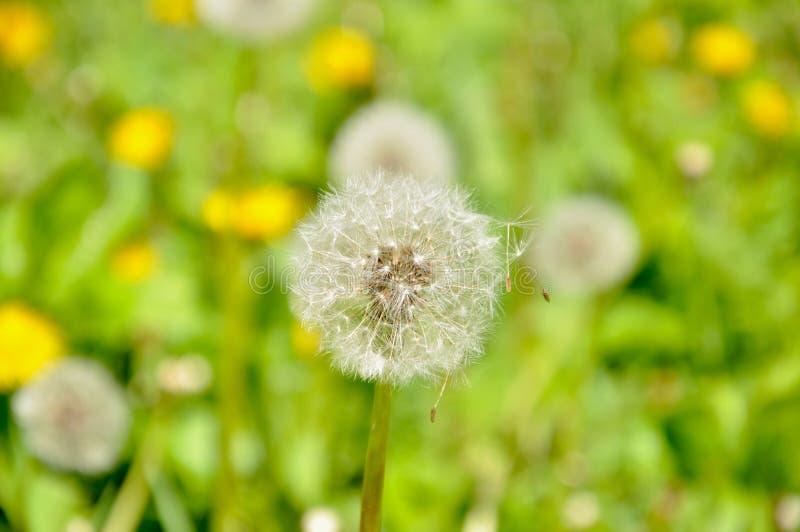 Diente de le?n entre el prado de la hierba verde fotografía de archivo