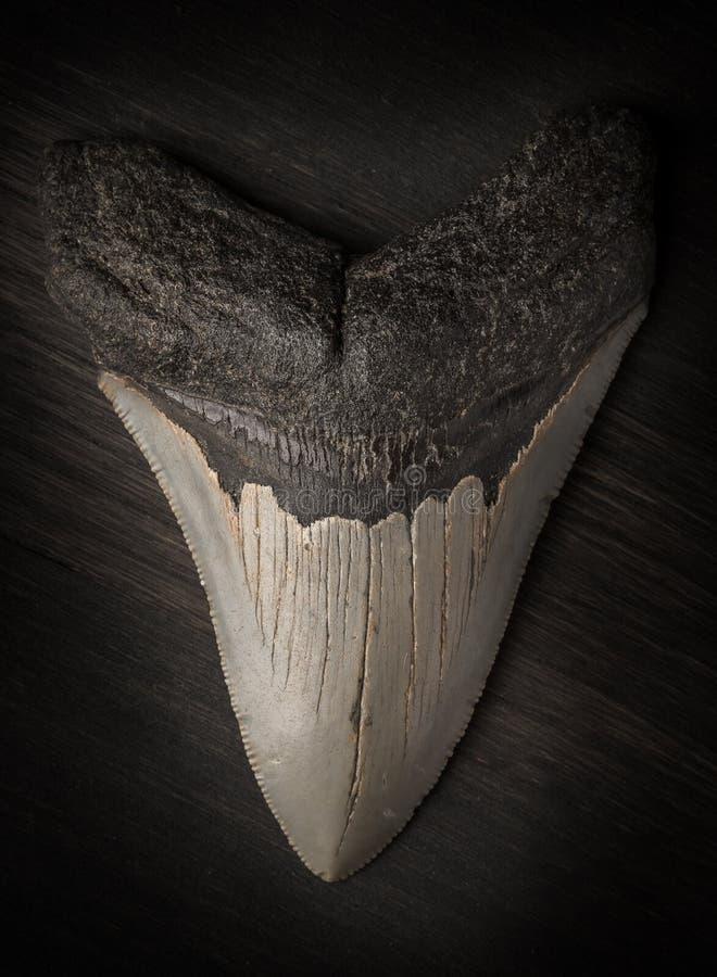 Diente fósil de Megalodon en el fondo de madera fotos de archivo