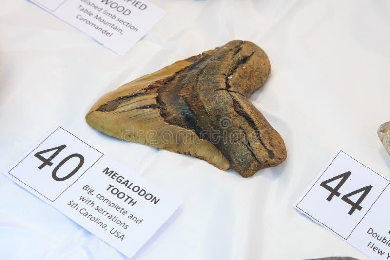 Diente f?sil de un Megalodon, o tibur?n prehist?rico gigante imagen de archivo libre de regalías