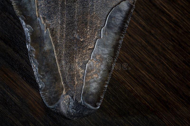 Diente fosilizado del tiburón de Megalodon en fondo oscuro imagenes de archivo