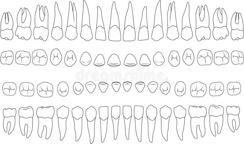 Dientes anatómico correctos ilustración del vector