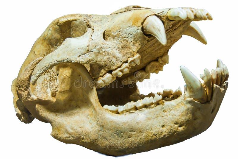 Dientes animales de los huesos del cráneo aislados imagen de archivo libre de regalías