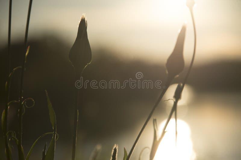 Dientes de león cerrados por un lago durante puesta del sol imágenes de archivo libres de regalías