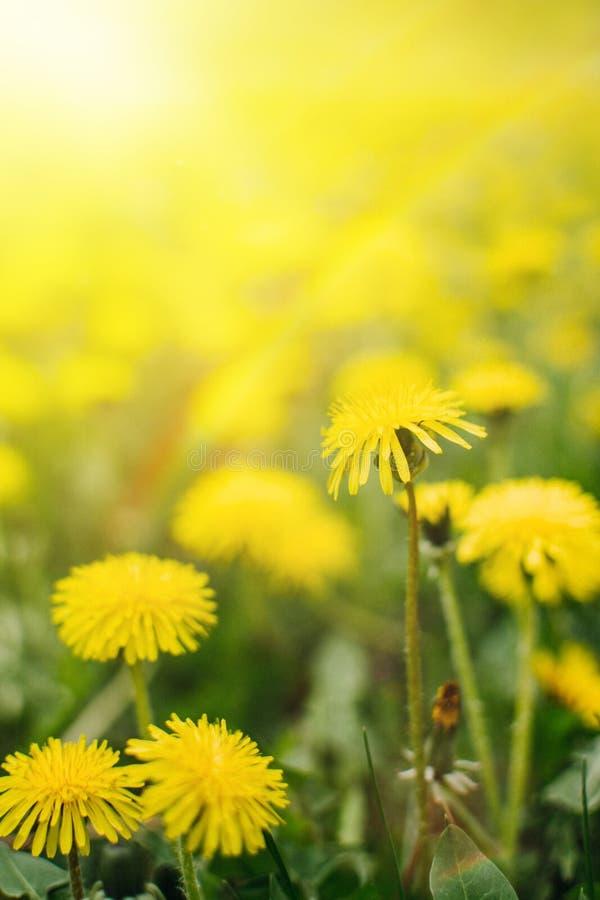 Dientes de león con un arco iris y una luz del sol en fondo vertical de la hierba verde Campo verde con los dientes de le?n amari foto de archivo libre de regalías