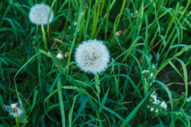 Dientes de león descolorados en la hierba gruesa en primavera temprana fotografía de archivo