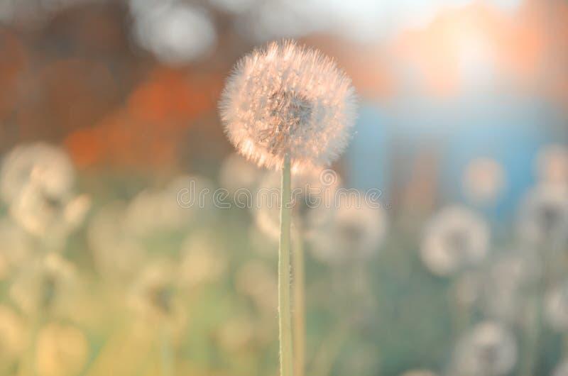 Dientes de león mullidos que crecen en el jardín de la primavera iluminado por la luz de oro caliente del sol poniente en un fond imagenes de archivo