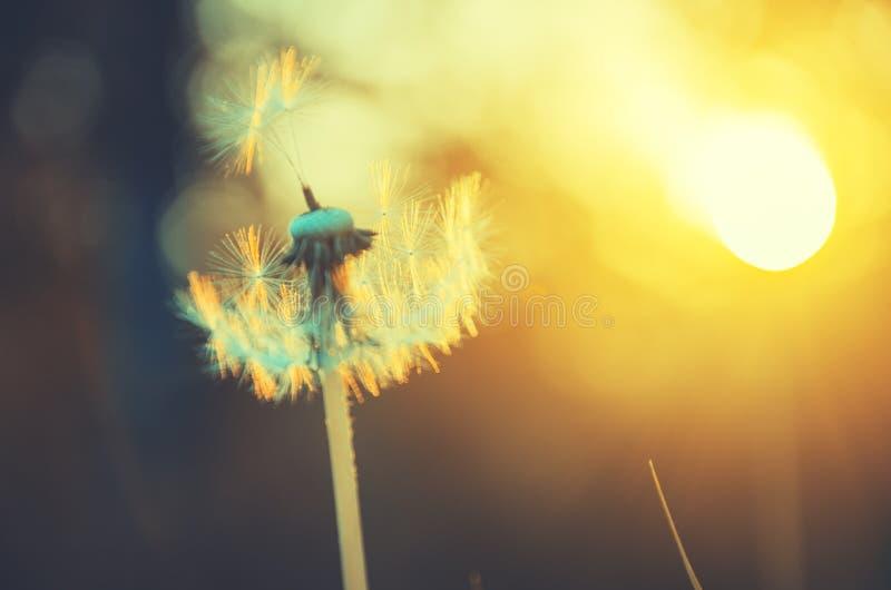 Dientes de león mullidos que crecen en el jardín de la primavera iluminado por la luz de oro caliente del sol poniente en un fond fotografía de archivo libre de regalías