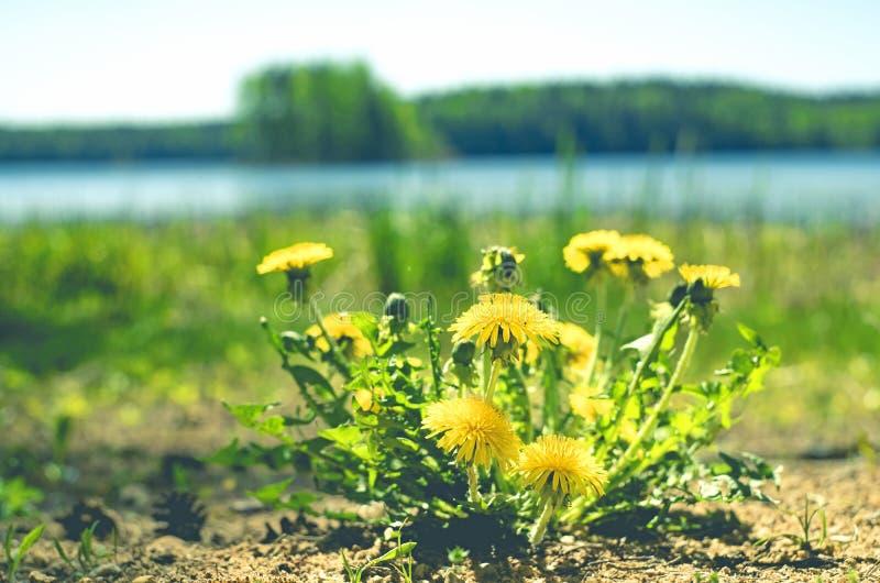 Dientes de le?n amarillos Dientes de le?n brillantes de las flores en el fondo de los prados verdes de la primavera fotografía de archivo libre de regalías