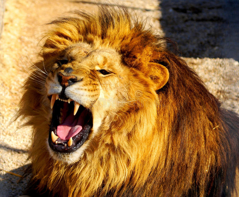 Dientes de los leones imagen de archivo libre de regalías