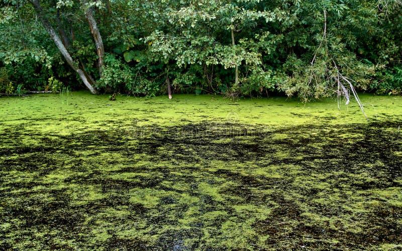 Diep zwart moeras in het midden van het meest forrest omringd door enorme flora royalty-vrije stock foto