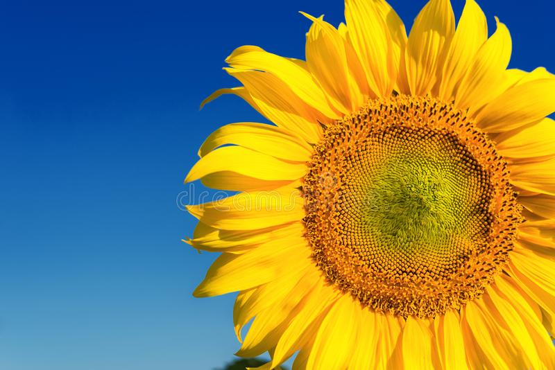 diepe blauwe hemel en gele zonnebloem op gebied royalty-vrije stock afbeelding