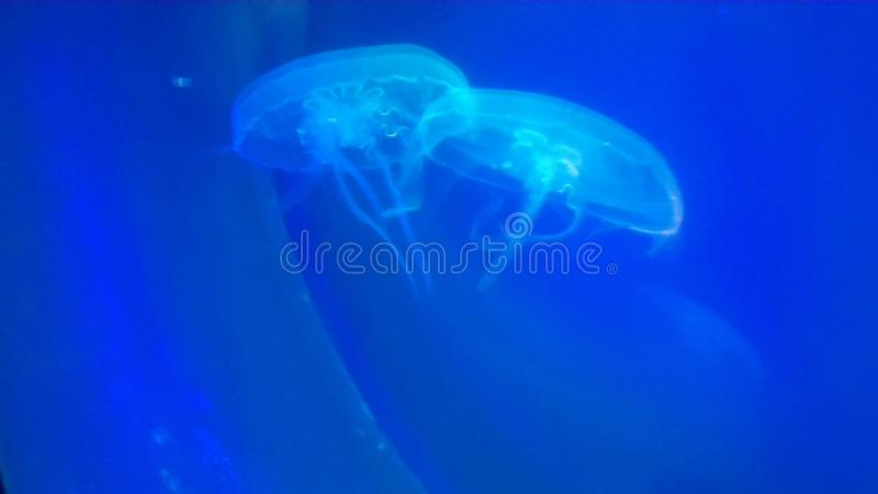 Diepe blauwe kwallen Helder en Mooi royalty-vrije stock afbeelding