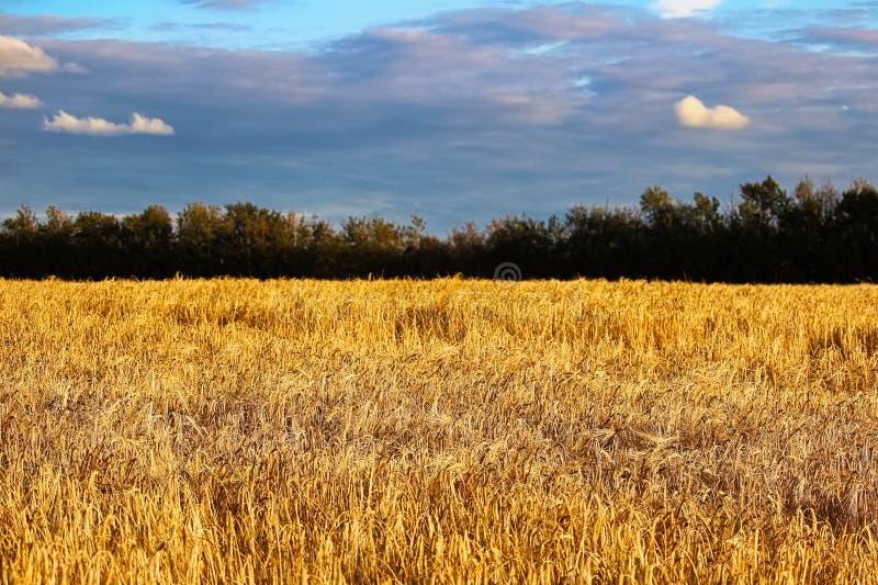 Diepe blauwe wolken boven een gouden gerstgebied royalty-vrije stock afbeelding