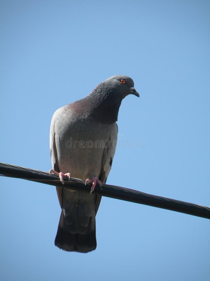 Diepten van een eenzame duif binnen op een Draad stock fotografie
