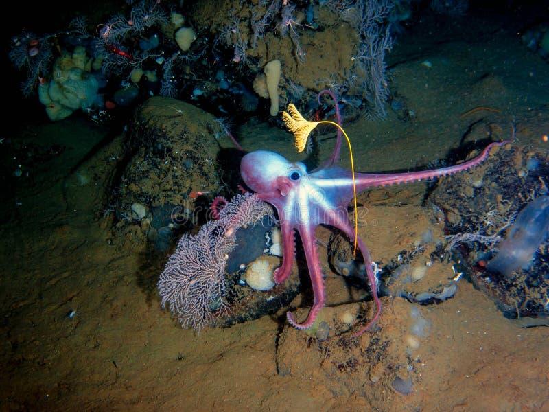Diepzeeoctopus in zijn eigen tuin stock afbeelding