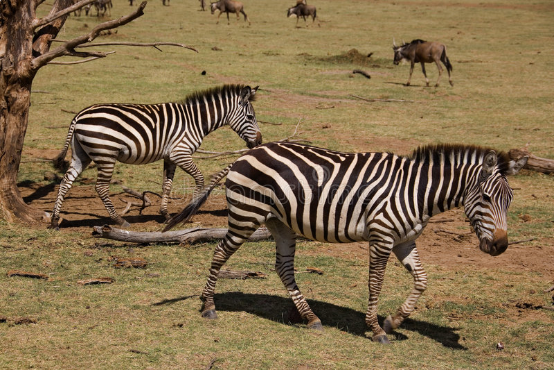 Dieren 006 zebra stock fotografie