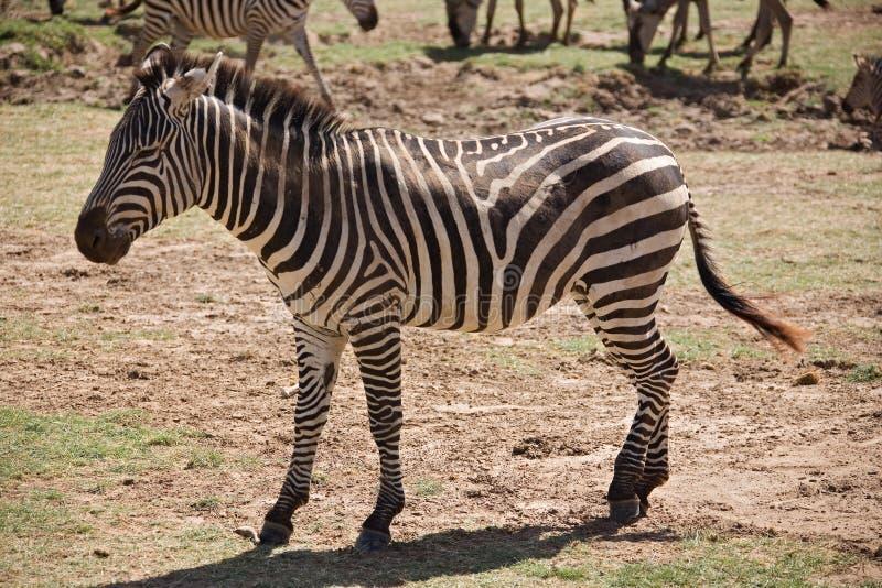 Dieren 007 zebra royalty-vrije stock foto