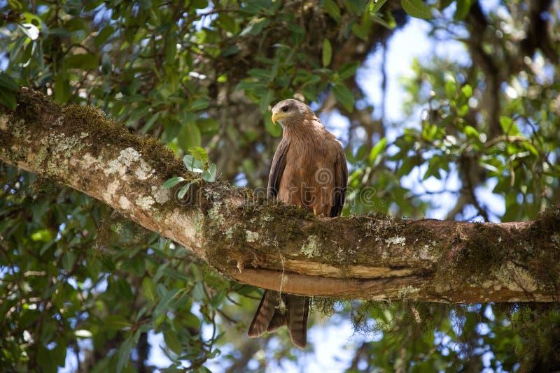 Dieren 023 adelaar stock fotografie