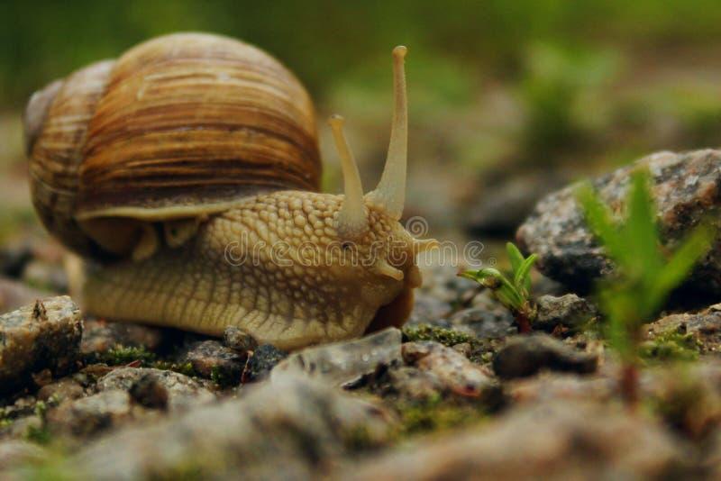 Dieren, Aardconcept Slak op de Weg over Groene Grasachtergrond royalty-vrije stock foto's