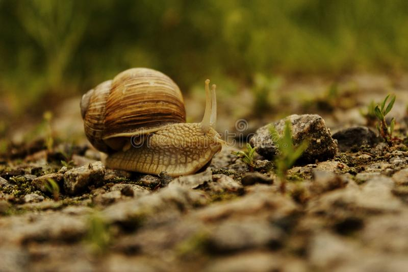 Dieren, Aardconcept Slak op de Weg over Groene Grasachtergrond stock fotografie