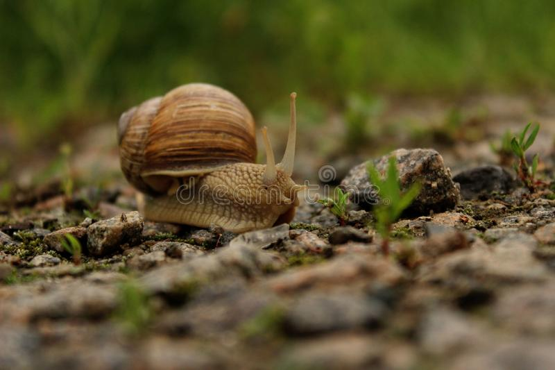 Dieren, Aardconcept Slak op de Weg over Groene Grasachtergrond stock afbeeldingen