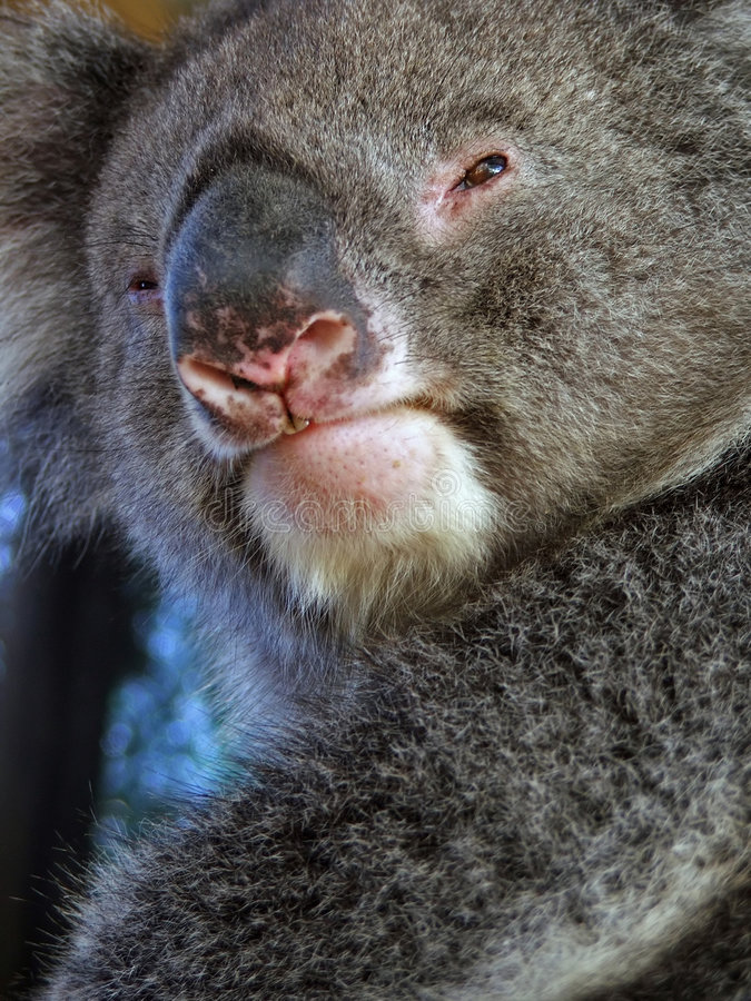 Dieren - Koala royalty-vrije stock afbeelding