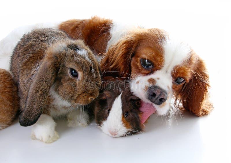Dieren samen Echte huisdierenvrienden Het proefkonijn dierlijke vriendschap van de konijnhond De huisdieren houdt van elkaar Leuk royalty-vrije stock foto's