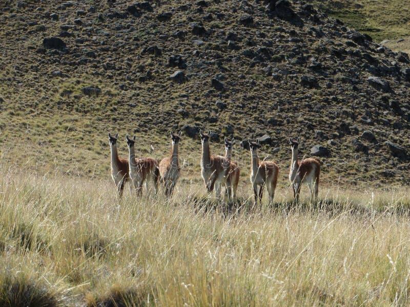 Dieren van de Pampa stock foto's