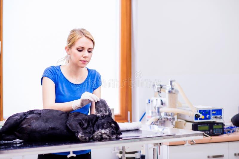 Dierenarts die bij veteringary kliniek hond met pijnlijk oor onderzoeken royalty-vrije stock afbeelding