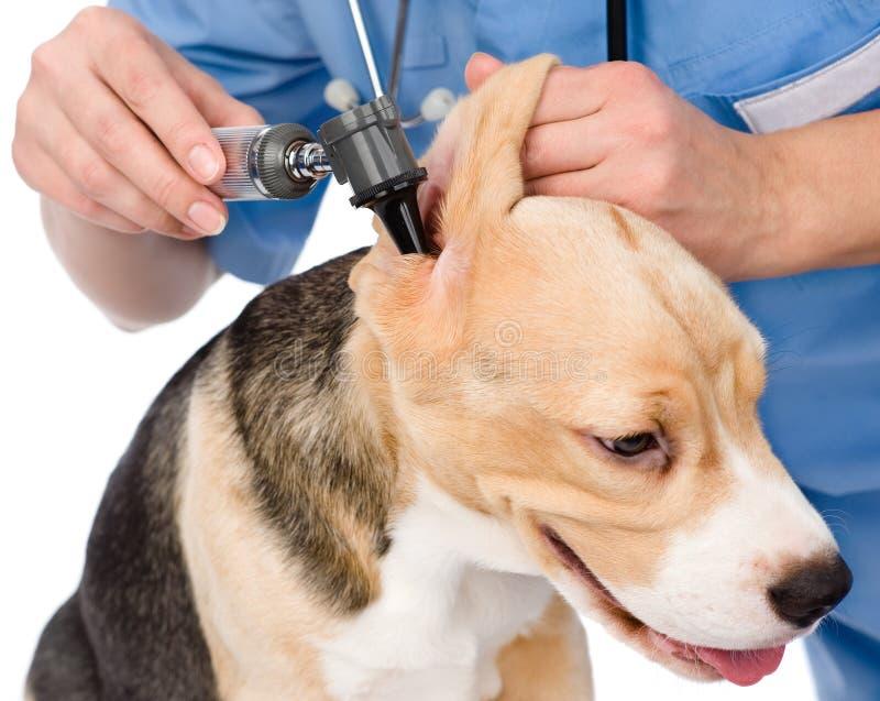 Dierenarts die het oor van een hond met een oorspiegel onderzoeken Geïsoleerde stock afbeelding