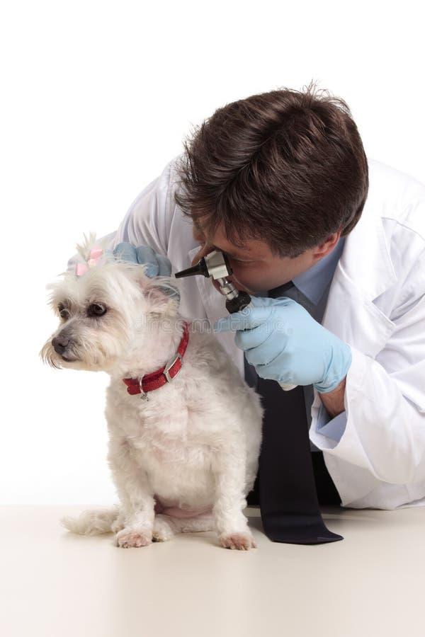 Dierenarts die hond controleert royalty-vrije stock afbeelding