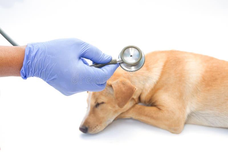 Dierenarts die zieke hond met stethoscoop examing stock afbeeldingen