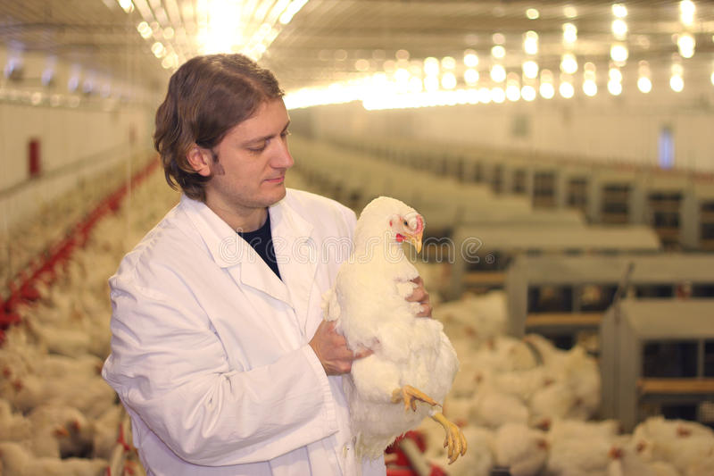 Dierenarts in kippenlandbouwbedrijf stock foto's