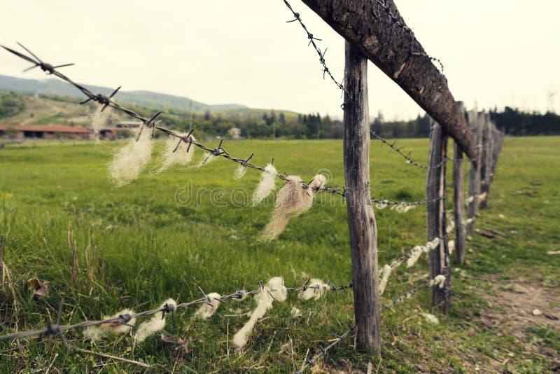 Dierlijk landbouwbedrijf in het Prikkeldraad van het land met schapenwol op het stock foto