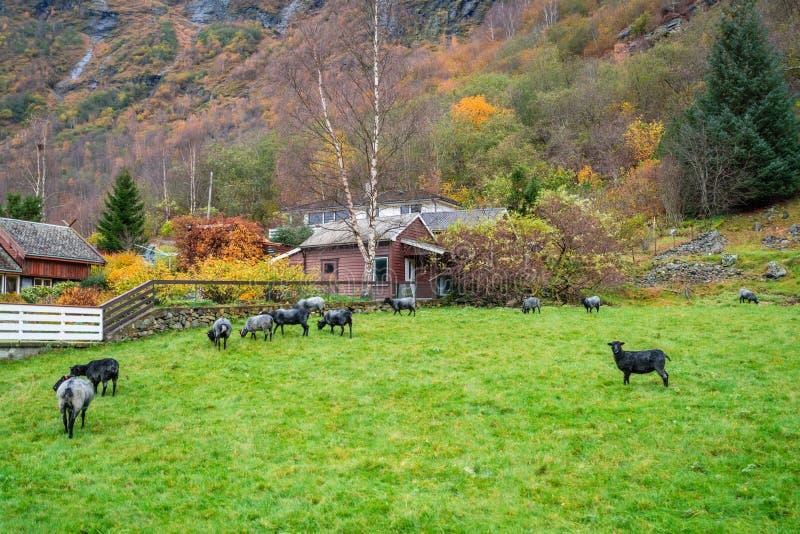Dierlijk landbouwbedrijf in Noorwegen stock fotografie