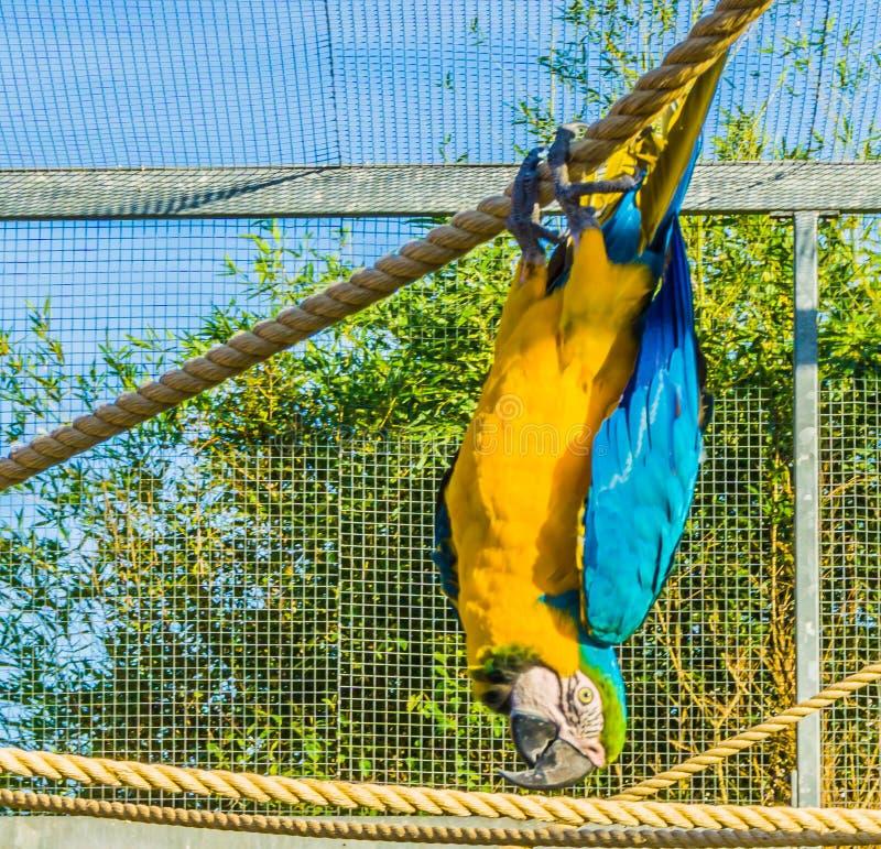 Dierlijk vogelportret van een grappige hangende bovenkant van de arapapegaai - neer op een kabel stock foto