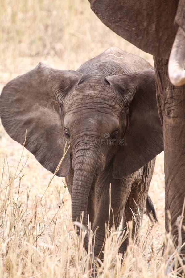 Dierlijke babyolifant stock afbeelding