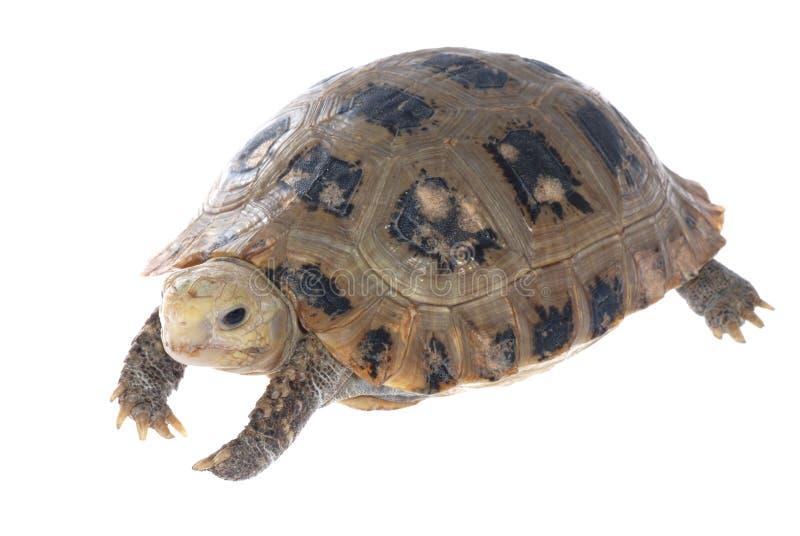 Dierlijke schildpadschildpad stock afbeeldingen