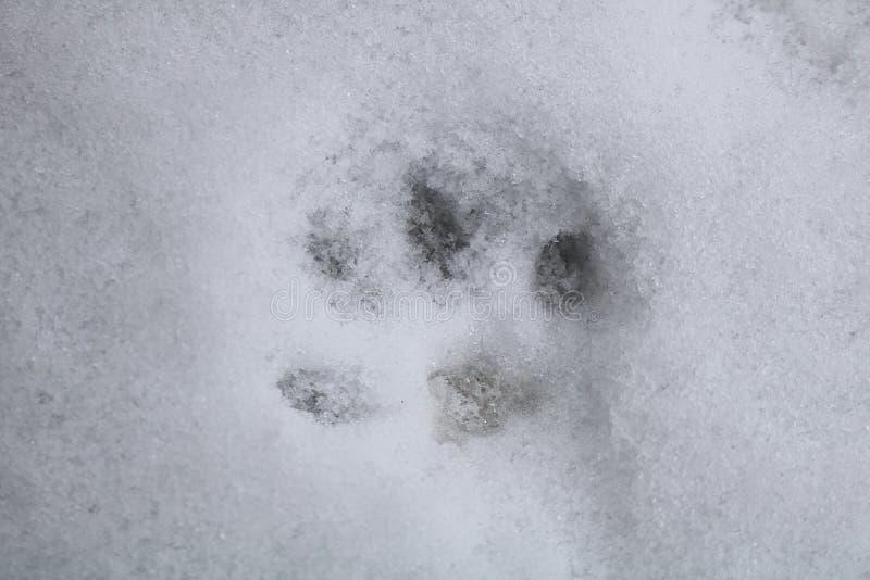 Dierlijke voetafdruk op sneeuw stock foto