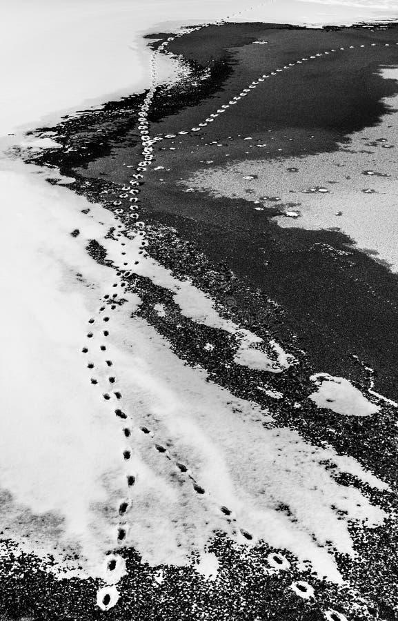 Dierlijke voetafdrukken bovenop sneeuw en bevroren meer royalty-vrije stock afbeeldingen
