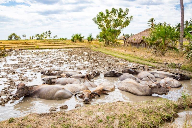 Dierlijke voorraad in Oost-Timor - Timor-Leste De kudde van vee, zeboe, buffels of koeien op een gebied zwemt in een vuil, modder stock foto