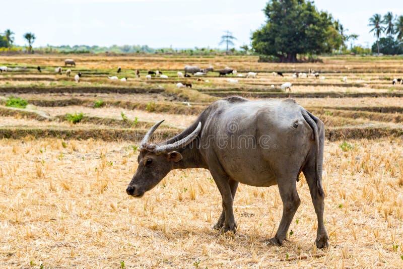 Dierlijke voorraad in Zuidoost-Azië Zeboe, buffels of koe Vee op een gebied Het dorpsleven in landelijke Oost-Timor - Timor-Leste royalty-vrije stock fotografie