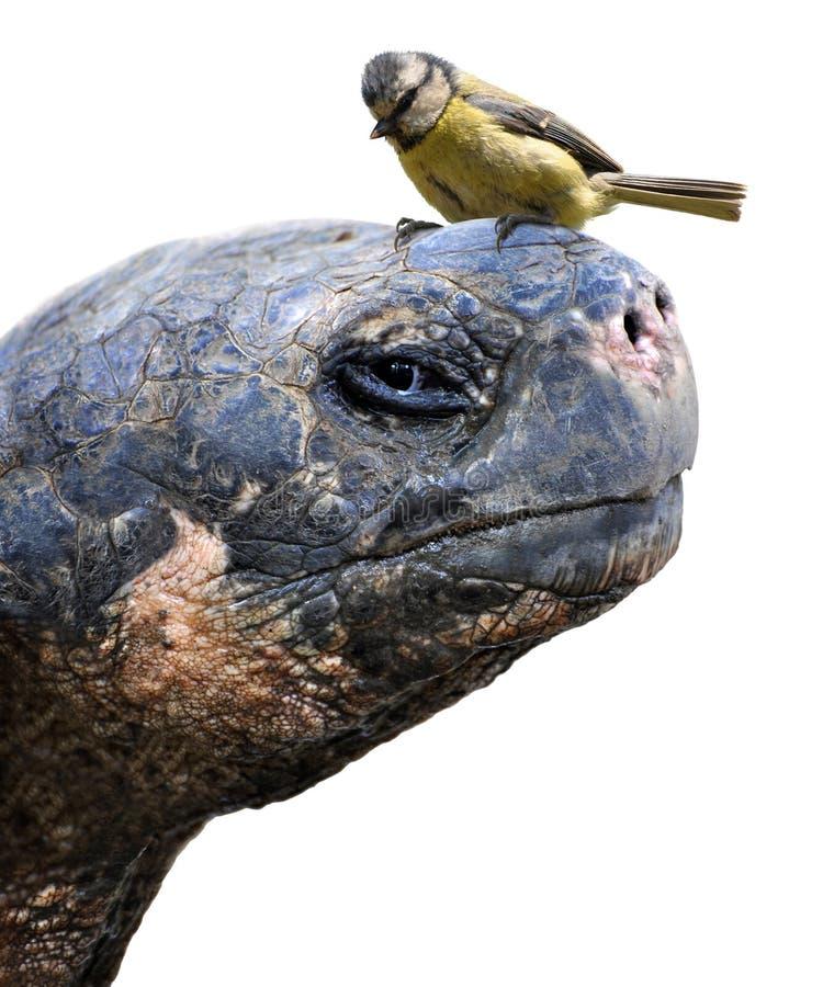 Dierlijke vrienden, een reuzeschildpad van de Galapagos en een kleine vogel, de Europees-Aziatische blauwe mees stock foto