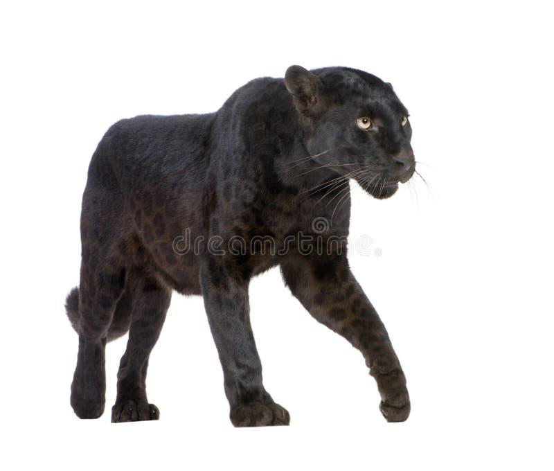 Dierlijke, Zwarte Luipaard, stock afbeeldingen