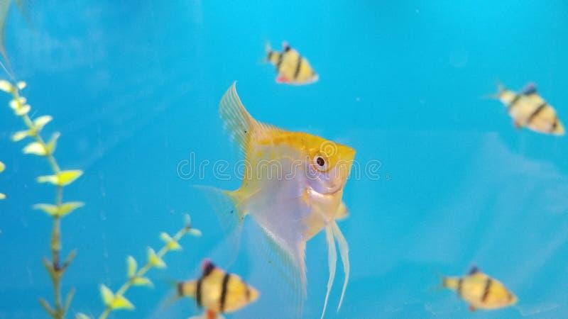 Diese Fische ziehen es vor, nahe Korallenriffen zu leben stockfotos