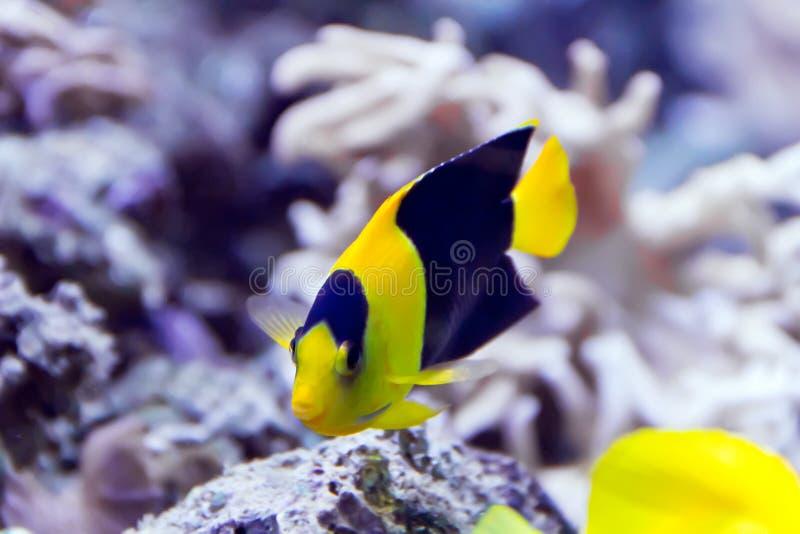 Diese Fische ziehen es vor, nahe Korallenriffen zu leben lizenzfreie stockbilder