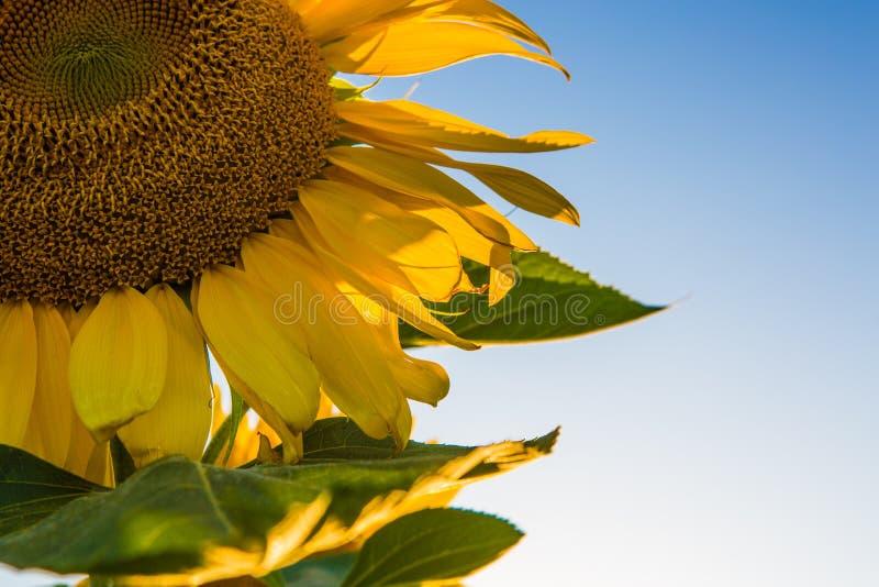 Dieses Bild wurde das Schauen innerhalb einer großen Sonnenblume genommen, die von den Startwerten für Zufallsgenerator aber nich stockfotos