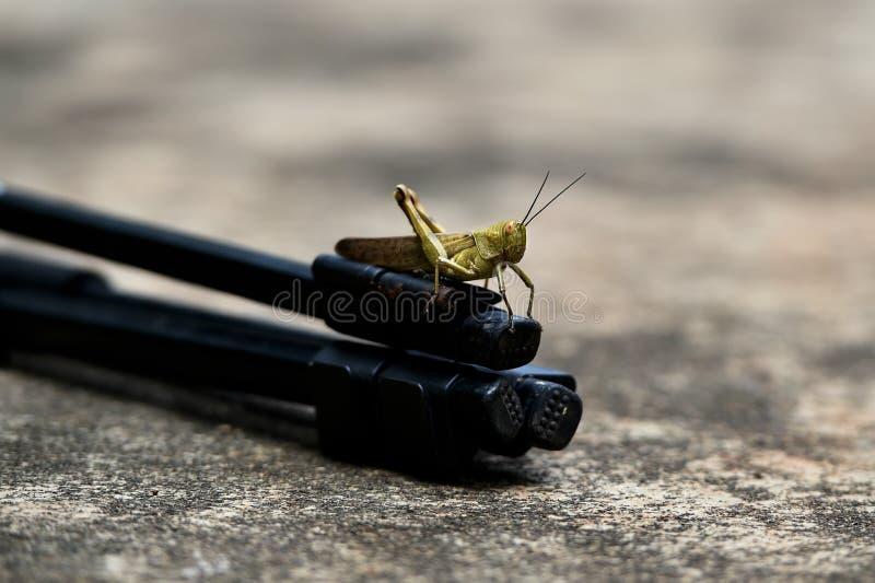 Dieses geflügelte und gelblich-braune Insekt wird ein woodhopper genannt stockbilder