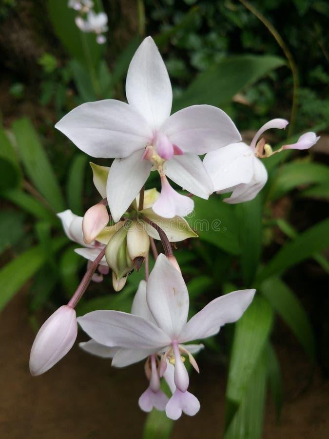Dieses ist Blüten eines Sri Lankan Weiß stockfotografie