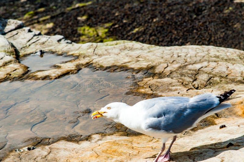 Diferents观点的thea海鸥在圣安德鲁斯在他的海湾靠岸, 免版税库存照片